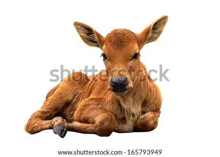 A calf on the road - stock photo