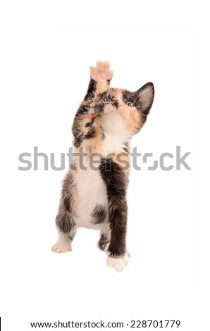 A calico kitten reaching up on a white background - stock photo