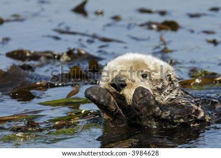 A California Sea Otter wraps himself in kelp - stock photo