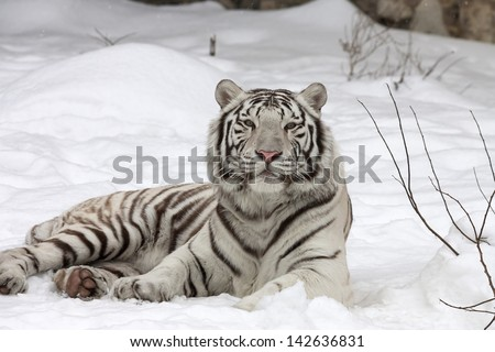 A calm white bengal tiger, lying on fresh snow. - stock photo