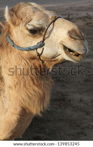 A camel head - stock photo