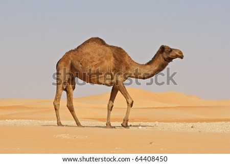 A camel in the Rub al Khali or Empty Quarter. Straddling Oman, Saudi Arabia, the UAE and Yemen, this is the largest sand desert in the world. - stock photo