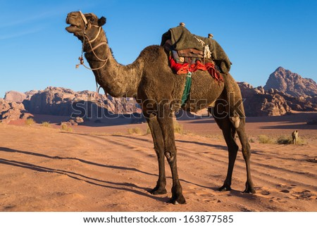 A camel in Wadi Rum, a desert in Jordan, enjoys the sunrise - stock photo