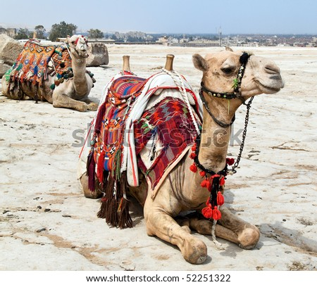 A camel is in the Egyptian desert
