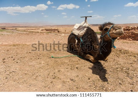 A camel laying down in the desert - stock photo