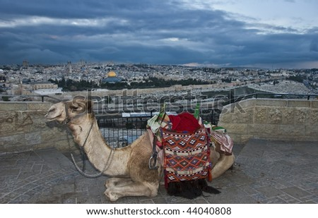 a camel overlooking old jerusalem at sunset - stock photo