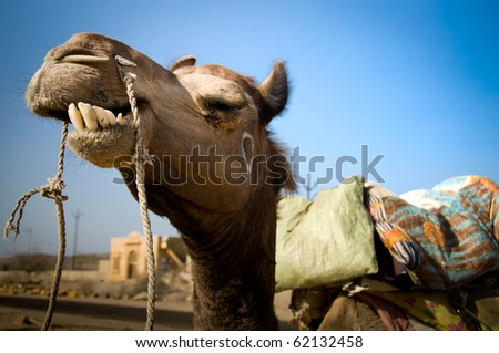 A camel smiles in the desert of Rajasthan in Jaisalmer, India.