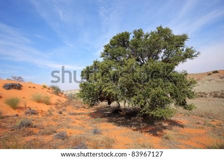 A camel thorn tree (Acacia erioloba) on a red sand dune, Kalahari desert, South Africa - stock photo
