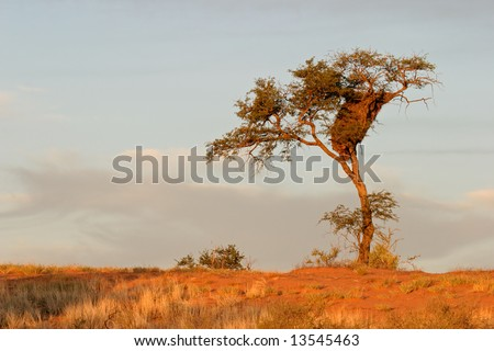 A camel thorn tree (Acacia erioloba) on a red sand dune with sociable weavers nest, Kalahari desert, South Africa - stock photo