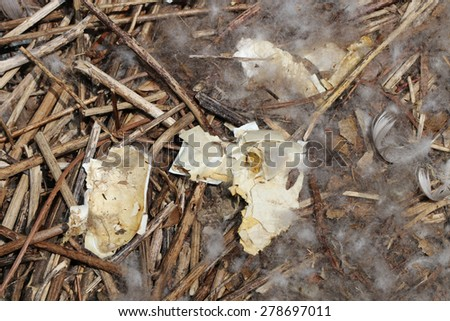 A Canada Goose (Branta Branta) Nest with Broken Eggs and Feathers - stock photo