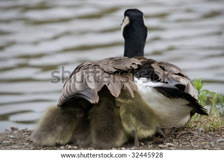 A Canada Goose with goslings taking shelter under its wing. - stock photo