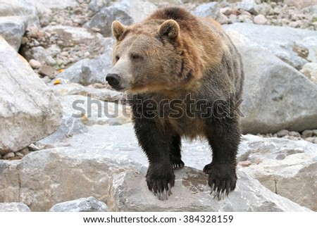 a canadian bear on his rock