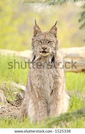 A Canadian Lynx (Lynx canadensis) with prominent ear tufts looks straight at the camera. Focus=eyes. 12MP camera, recorded at a game farm.