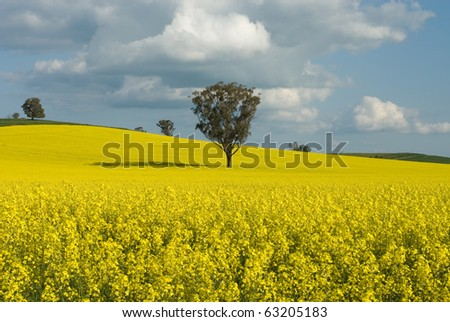 A Canola crop, in full Spring flower, near Cootamundra, New South Wales, Australia - stock photo
