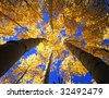 A canopy made from the branches & leaves of aspen trees, photographed during the autumn season. - stock photo