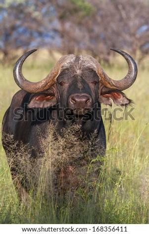 A cape buffalo shows off his impressive horns - stock photo