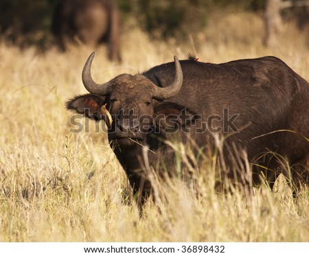 A Cape Buffalo (syncerus caffer) getting an eye cleaning from an African Oxpecker (buphagus africanus). African Buffalo and oxpeckers live in symbiosis. - stock photo