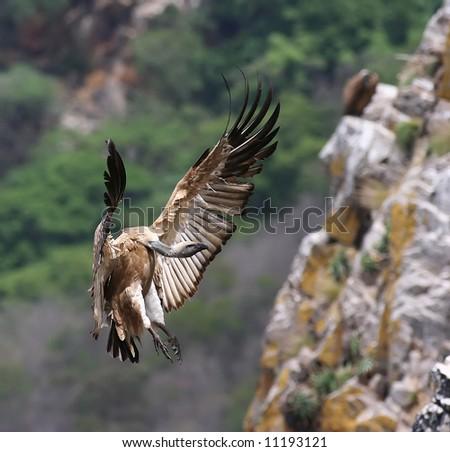 A Cape Griffen Vulture in flight photo - stock photo