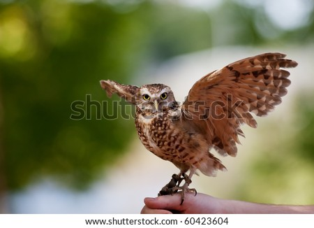 A captive Burrowing Owl from the Bird of Prey Center in Coaldale, Alberta, Canada.  This endangered species is bred here and new burrowing owls are released into the wild each year. - stock photo