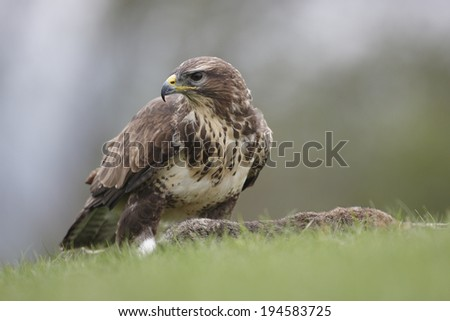 A captive Buzzard standing over a dead Rabbit,ready to feed - stock photo