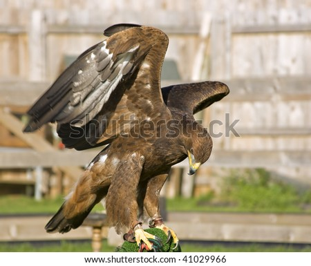 A captive eagle flexing its wings - stock photo