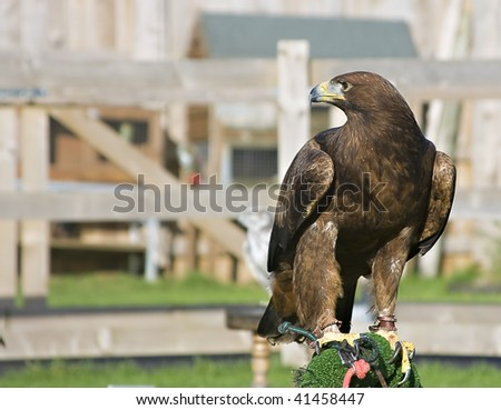 A captive eagle on a perch - stock photo