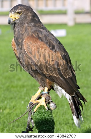 A captive Harris Hawk standing on a perch - stock photo