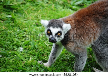 A captive lemur crouching in the grass. - stock photo