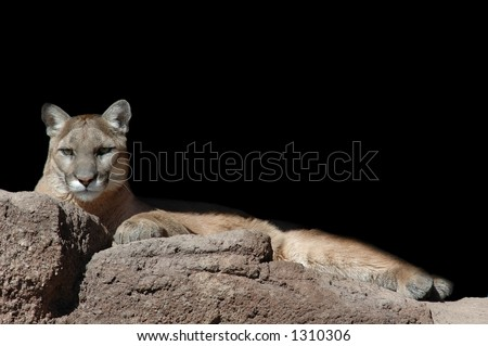 A captive mountain lion lounges in the warm sun.