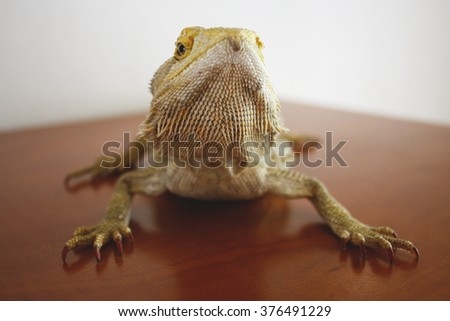 A capture of an agama - stock photo