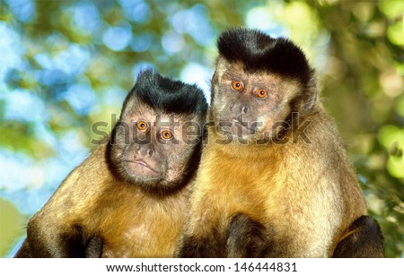 A Capuchin monkey pair sit in their natural surroundings - stock photo