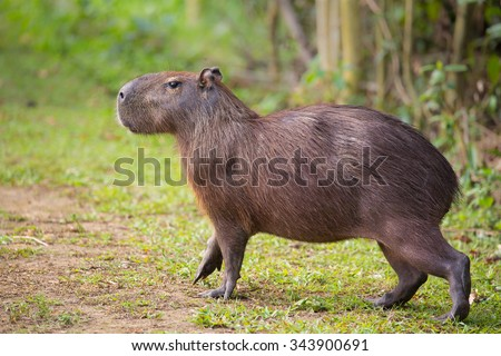 A Capybara (hydrochoerus hydrochaeris) walking on bare ground against a blurred natural background, Pantanal, Brazil - stock photo