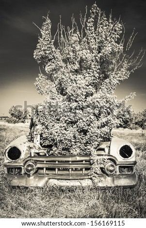 A caragana tree is growing out of the hood of an old classic car in a field. Processed with an infrared black and white filter. - stock photo