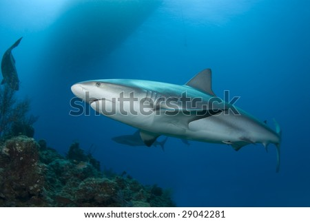 A Caribbean Reef Shark (Carcharhinius perezi) swims along a reef in clear blue water with the shadow of a boat on the surface and another shark in the background. - stock photo