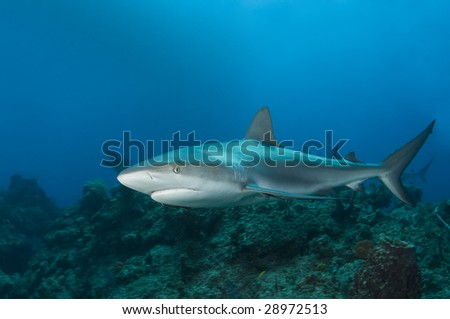 A Caribbean Reef Shark (Carcharhinius perezi) swims along a reef in the clear blue water of the Bahamas - stock photo