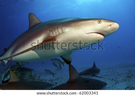 A Caribbean reef shark makes a close pass in the Bahamas - stock photo