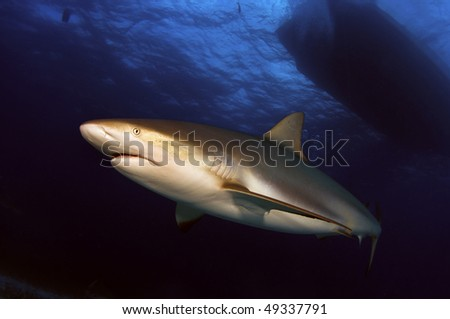 A Caribbean reef shark passes by underneath a boat. - stock photo