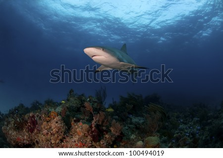 A Caribbean reef shark swimming over a reef in the Bahamas - stock photo