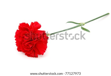 A carnation bloom - stock photo
