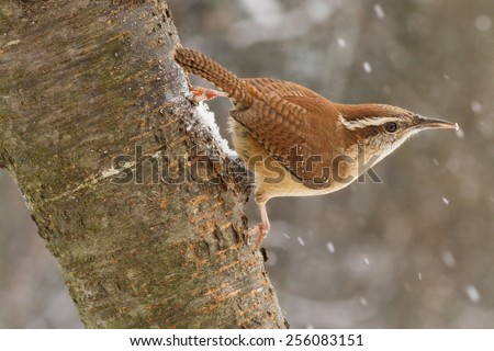 A Carolina wren hanging from an ash tree during a snow storm. - stock photo