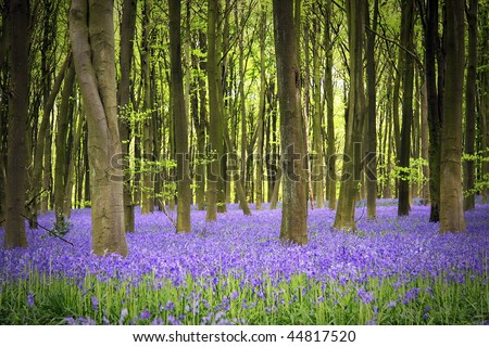 A carpet of bluebells in the woods, Hampshire, UK - stock photo