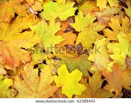 A carpet of fallen autumn maple leaves. - stock photo