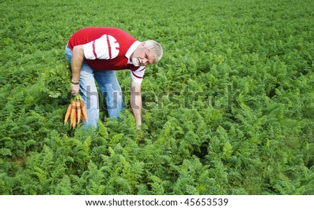 a Carrot farmer picking carrots in a carrot field - stock photo