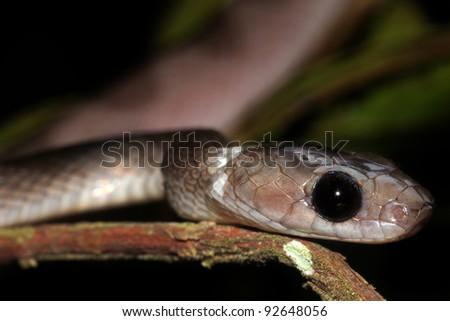 A Cat-eyed Snake (Leptodeira annulata) in the Peruvian Amazon - stock photo