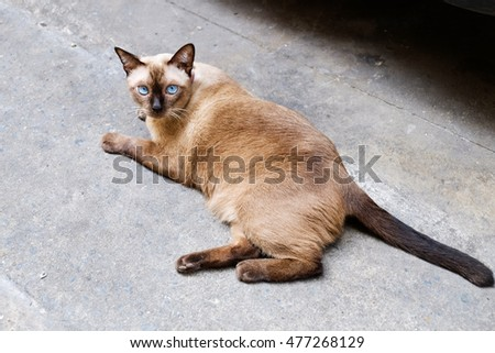 A cat lying on the street and looking at you with blue eyes