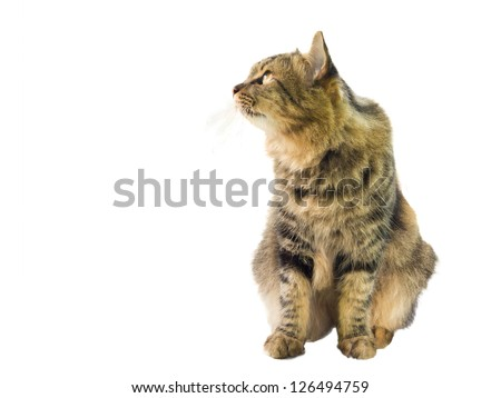a cat watching something, isolated on white background - stock photo