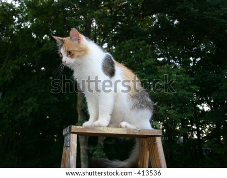 A cat with a higher perspective [on top of a ladder] - stock photo