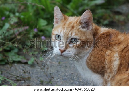 A cat with and white and orange or amber fur