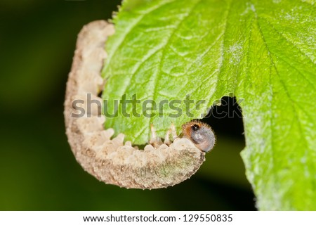 A Caterpillar Eating a Green Leaf - stock photo