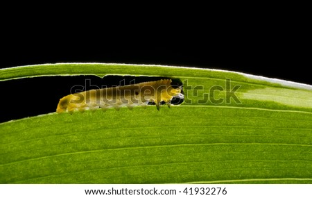 A caterpillar eating thought a leaf - stock photo